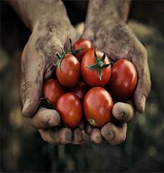 A farmers hands filled with tomatoes from Keil's Produce & Greenhouse in Swanton, Ohio