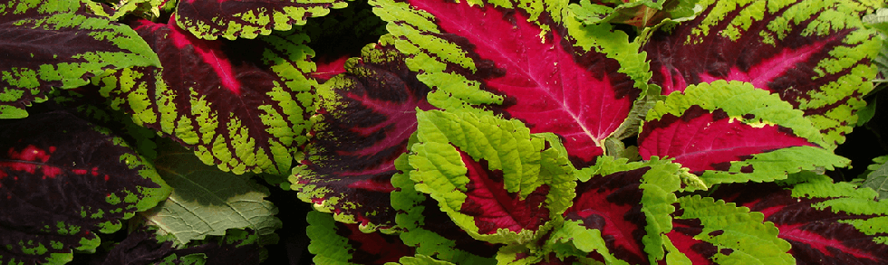 coleus annual plant from Keil's Produce and Greenhouse in Swanton Ohio