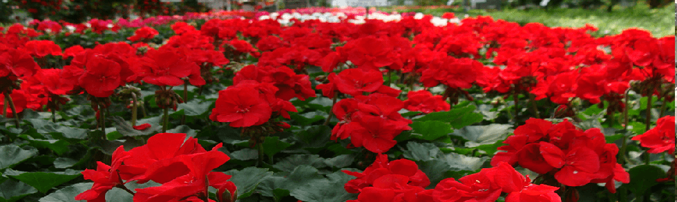 red geranium annual flowers in containers from Keil's Produce and Greenhouse in Swanton Ohio