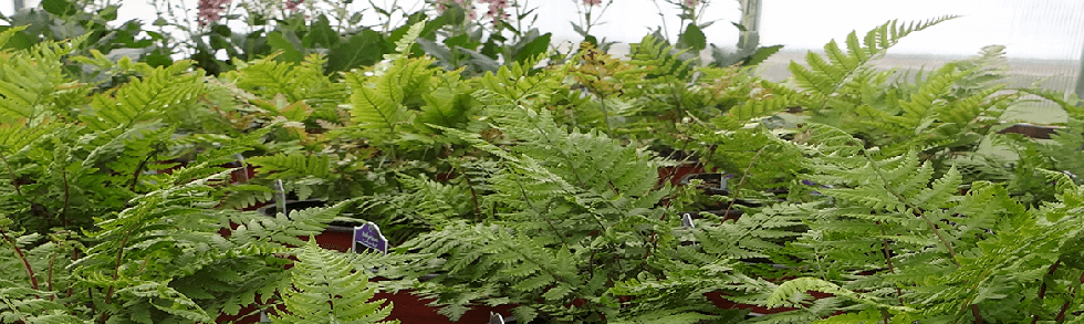 Hardy ferns in containers from Keil's Produce and Greenhouse in Swanton Ohio