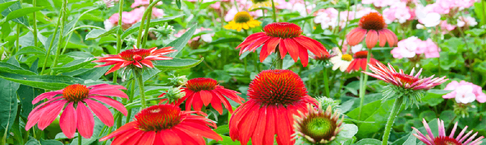 Echinacea Cheyenna Spirit perennial flowers from Keil's Produce and Greenhouse in Swanton Ohio