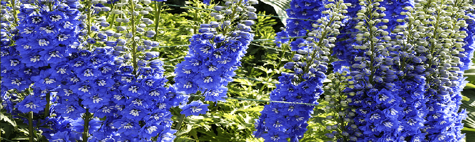 Delphinium Blue Butterfly perennial flowers from Keil's Produce and Greenhouse in Swanton Ohio