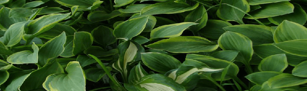 variety of hosta perennial plants from Keil's Produce and Greenhouse in Swanton Ohio